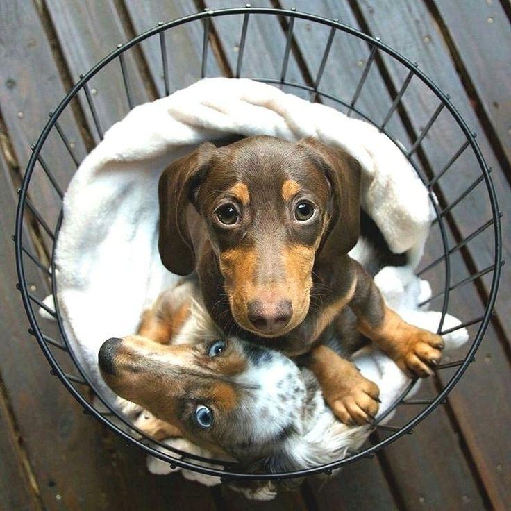 Dachshund Dachshund Cute Dachshund Puppy Doxie Weenie Sausage