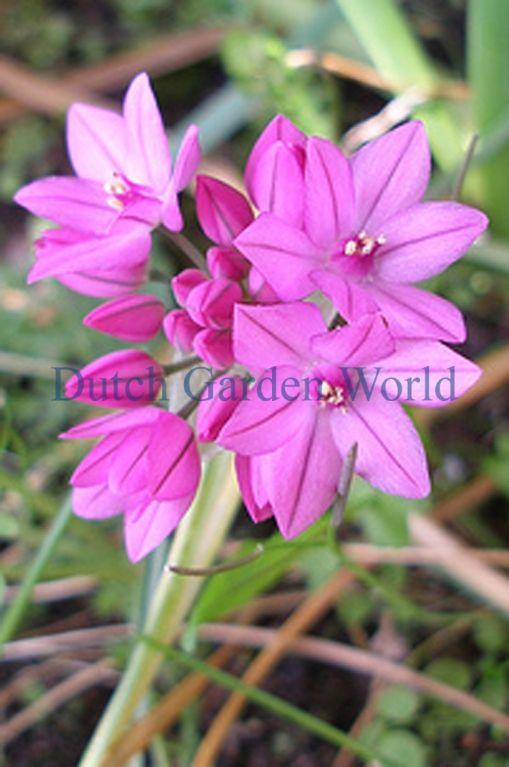 39 best pink spring garden images on pinterest spring garden pink small flowering allium ostrowskianum bloembollen dutch garden world mightylinksfo