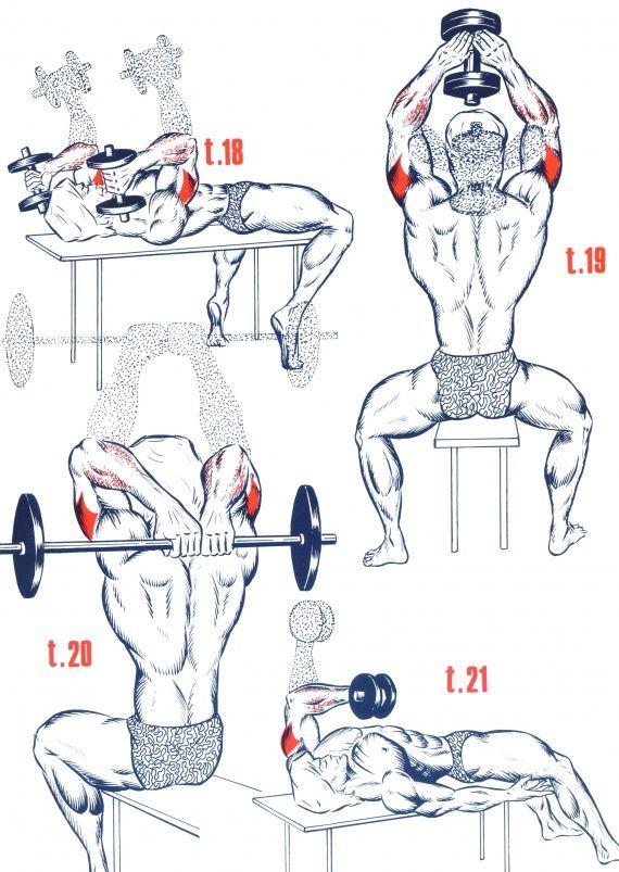 Triceps4 …