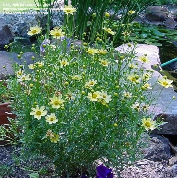 PlantFiles Pictures: Coreopsis, Threadleaf Coreopsis, Tickseed 'Creme  Brulee' (Coreopsis verticillata) by