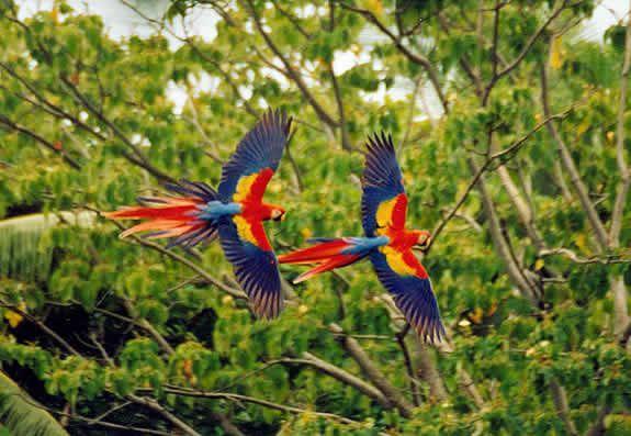 Rainforest Birds Flying A pair of Scarlet Maca...