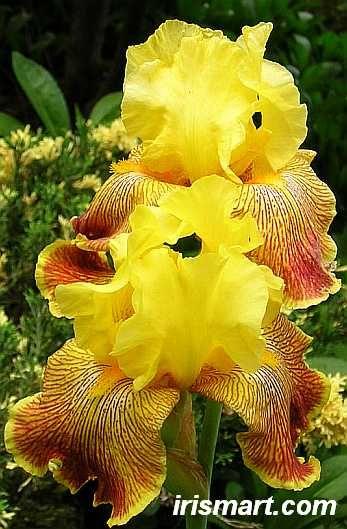 Bengal Tiger Alto Iris Bearded