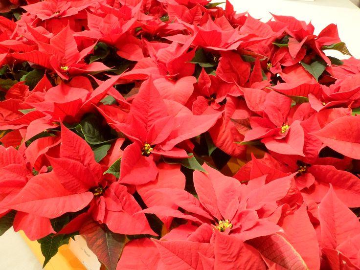 Atatürk çiçeği Poinsettia Christmas star #red #leaves #poinsettia #messe #essen #germany #almanya