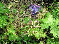 Σίλυβο το μαριανό-Silybum marianum/Cardus marianus Άλλες ονομασίες: Γαϊδουράγκαθο, κουφάγκαθο, κάρδος, σίλυβο. Οικογένεια: Σύνθετα (Compositae). Συγγενή είδη: Cnicus benedictus-αγιάγκαθο