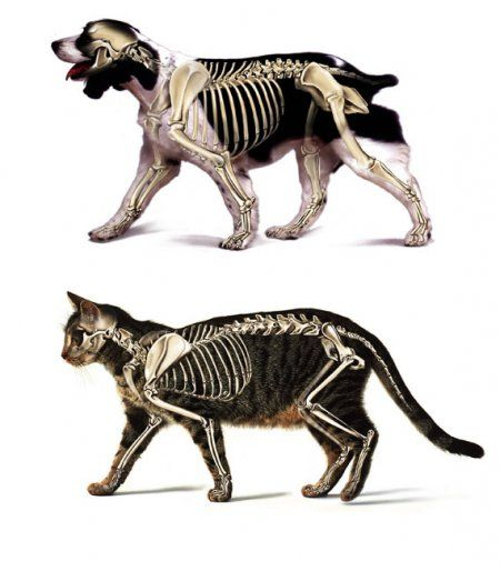 Canine and feline skeletal structures. Note the joints!