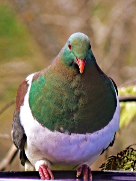 kereru  (nz wood pigeon)