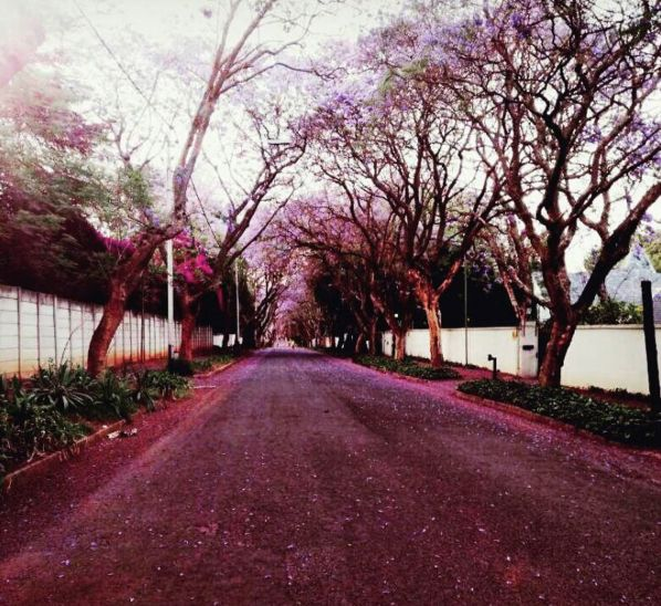 chantal_naidu My obsession with the purple trees continues... #Jacaranda #JacarandaInYourPocket#Johannesburg