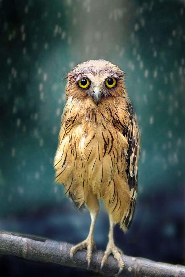 The Beauty of Wildlife: Wet Owl by Sham Jolimie