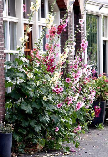 Fiche plante : Rose trémière – #Fiche #plante #Rose #trémière