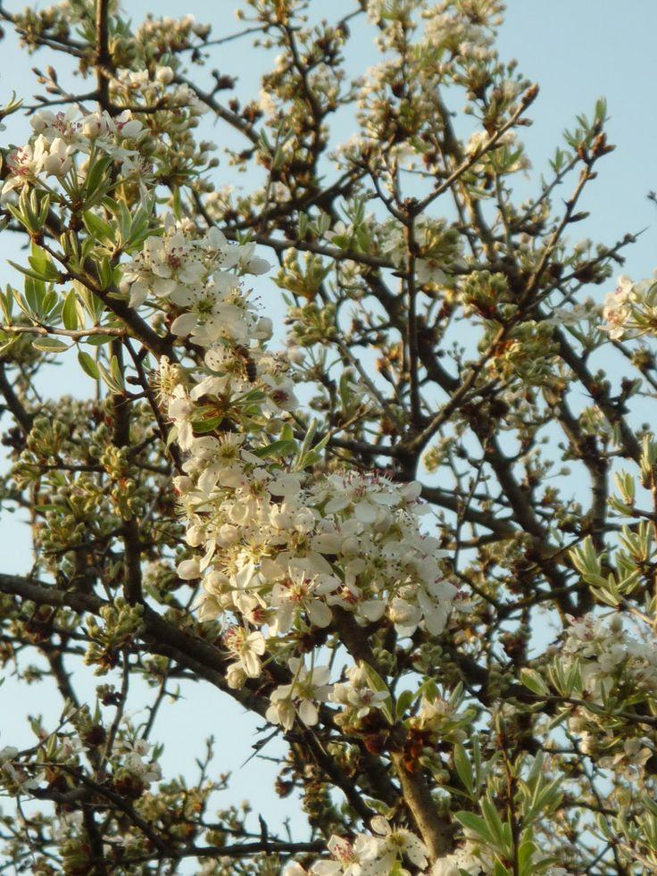 """Pyrus amygdaliformis """"Almond-leaved pear"""""""
