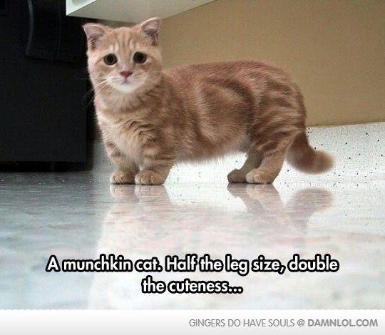 The Munchkin Cat - Damn! LOL