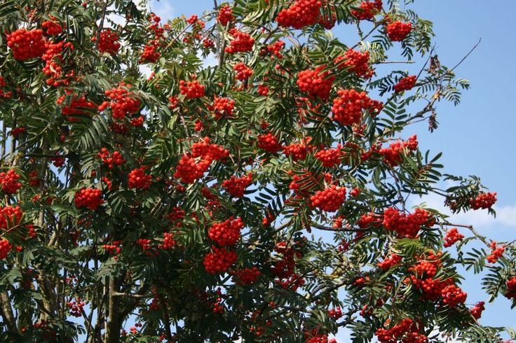 Vogelbeerbaum / Gewöhnliche Eberesche - Sorbus aucuparia