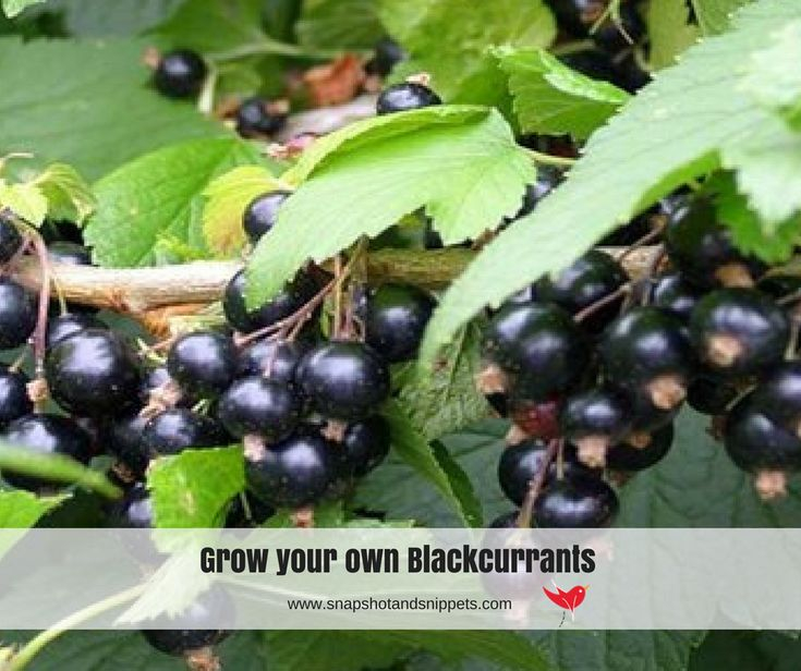 Want a simple guide to Grow your own Blackcurrants? I have made it simple. These delicious fruits are packed with vitamin C and so easy to grow.