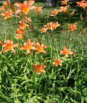 How to Sustainably Harvest and Eat Delicious Daylilies