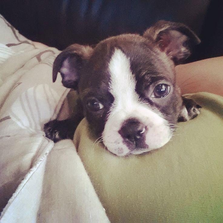 12 Weeks Old Boston Terrier named Finn Spending a Lazy Afternoon ► http://www.bterrier.com/?p=28808 - https://www.facebook.com/bterrierdogs