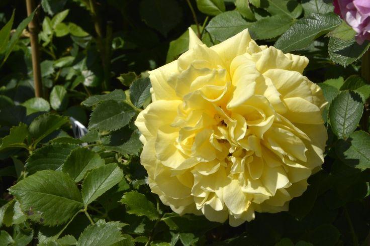 Róża China Girl