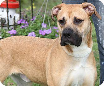 Marietta, OH - Boxer/Mastiff Mix. Meet Diesel, a dog for adoption. http://www.adoptapet.com/pet/17956377-marietta-ohio-boxer-mix