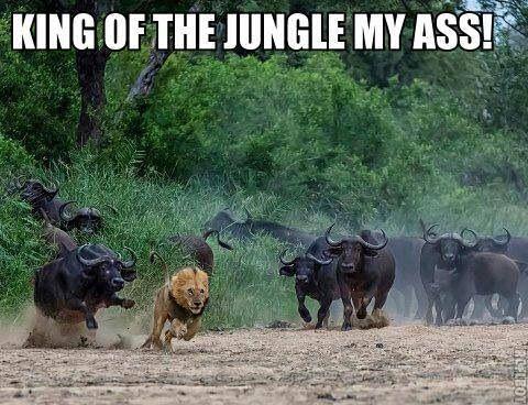 Run like there's no tomorrow Alex the lion !!! - Imgur