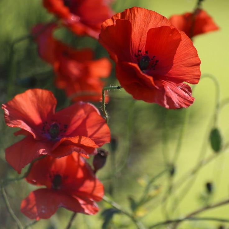 срисовке рисунки и фото цветы маки две