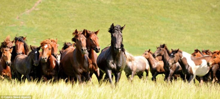 Mongolian Ponies History: Mongolia is famous for its native horse breed, which has been largely unchanged since the days of Genghis Khan, the founder of the Mongol Empire, who died in 1227