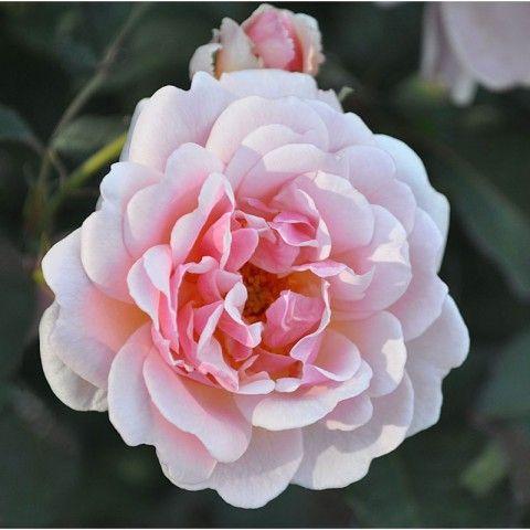 The 25+ best Felicia rose ideas on Pinterest   Vintage rose gold ...