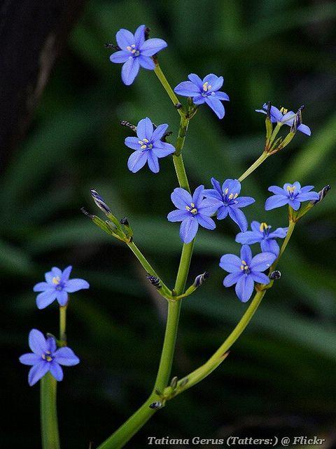 orthrosanthus multiflorus morning iris
