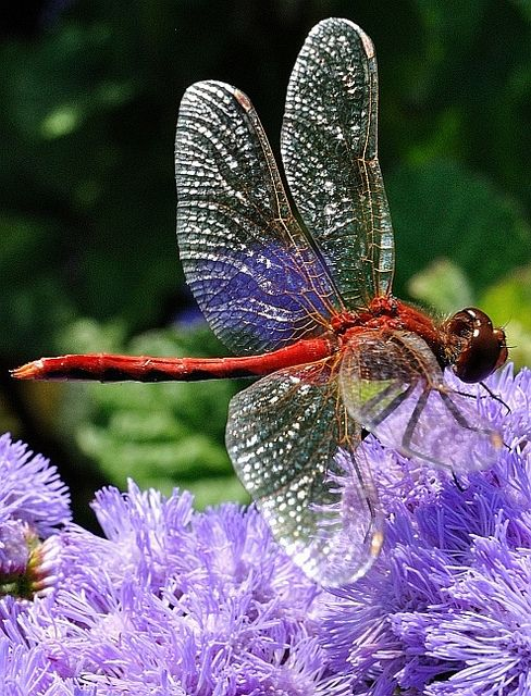 A Red Dragonfly glistening in the sunlight