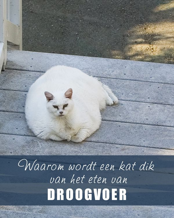 Waarom wordt een #kat dik van het eten van droogvoer. www.voervoorkatten.nl