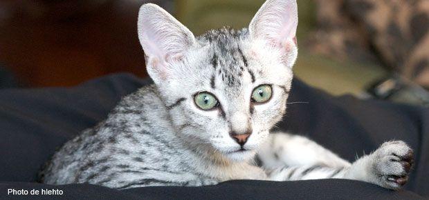 Le chat mau égyptien