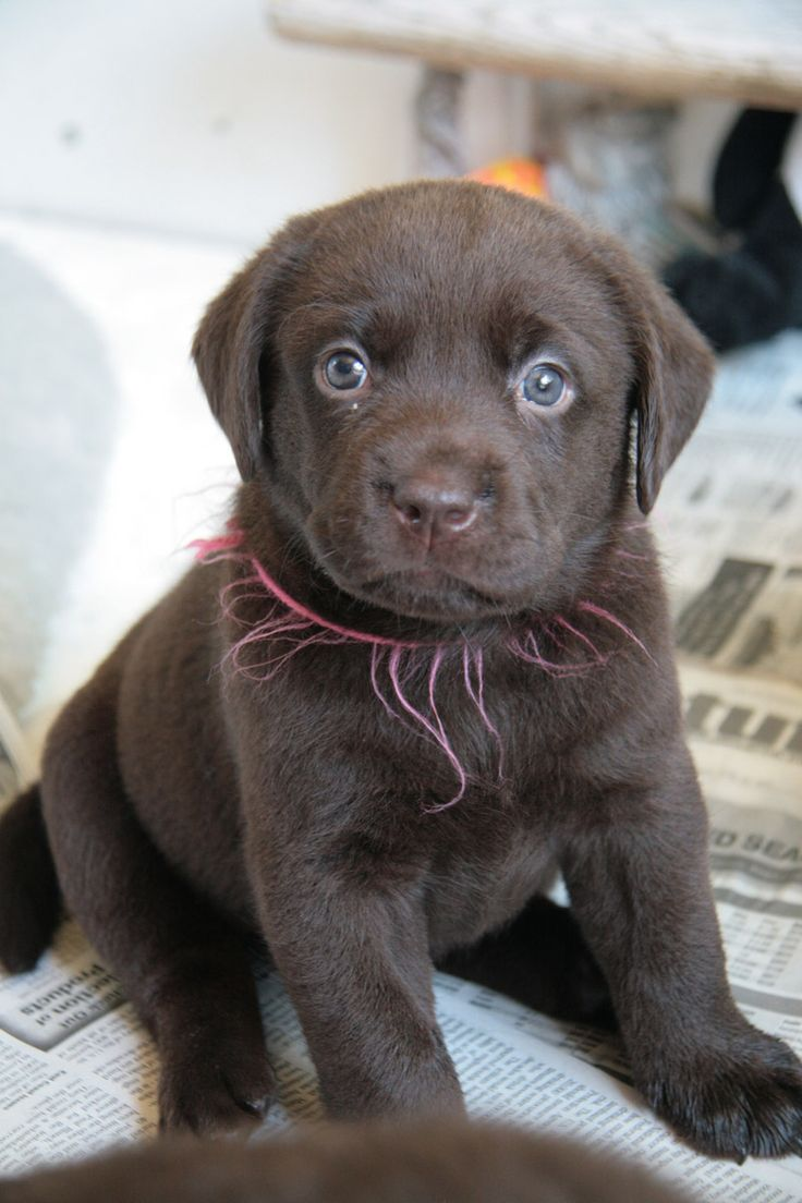 Small Puppies , 6 Stunning Choc Lab Puppies Photo Collection :  Labrador Puppy Brown