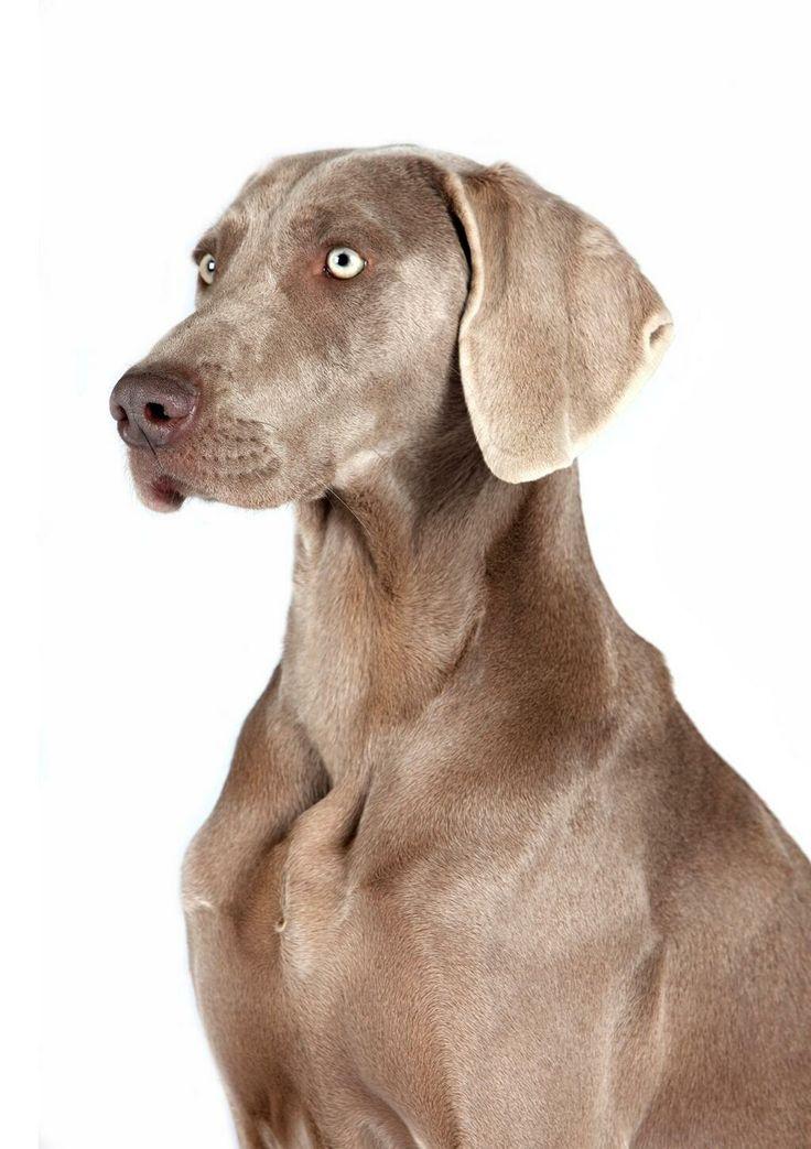 @Arion_ES Buenos días! Hoy os hablamos del #Weimaraner o #Braco de Weimar en www.elblogdearion.com .Os gusta esta #raza?