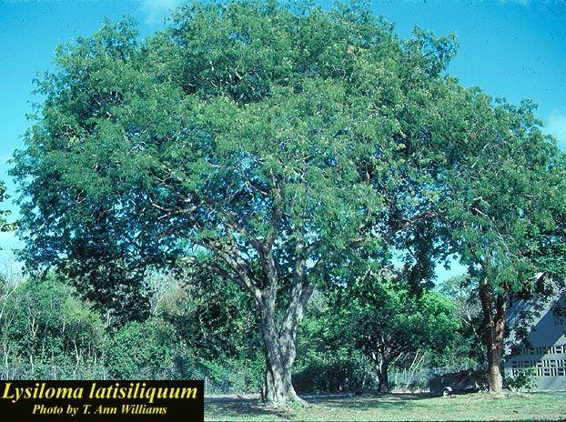 Lysiloma latisiliquum - Photos - ISB: Atlas of Florida Plants - ISB: Atlas of Florida Plants