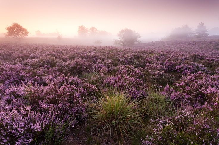 Heath at dawn - Maasmechelen, Belgium by Bart Heirweg