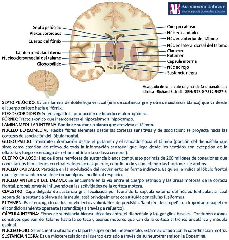 Infografía Neurociencias: Plexos coroideos; fórnix; tálamo; globo pálido; cuerpo calloso; núcleo caudado; claustro; putamen; núcleo rojo | Asociación Educar