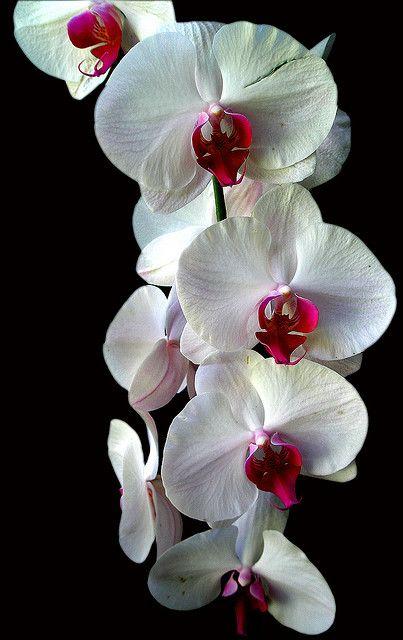 Hawaii Orchid- Oct 2007 by R. J. Malfalfa, via Flickr