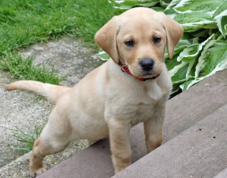 Penny the Labrador Retriever