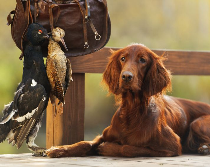 Irish Setter Breed Information - Irish Setters originated as gundogs in their native Ireland. Read more Irish Setter breed information here. http://topdogumentary.com/irish-setter-breed-information/ #IrishSetter #DogBreedInformation