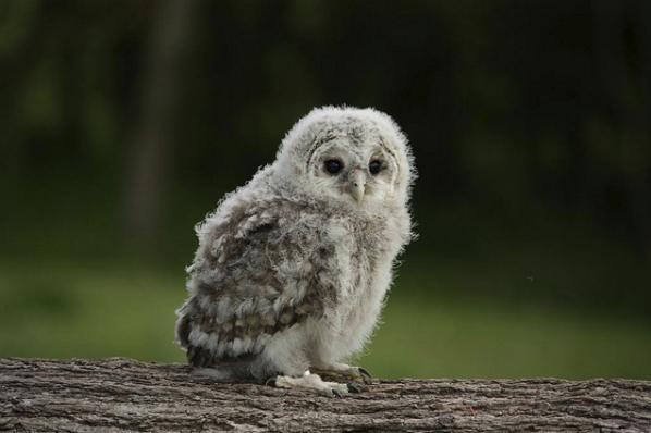 Fluffy baby owl. | hair and beauty! | Pinterest