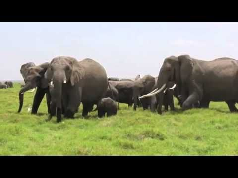 Touching moment as Elephant Herd Rushes To Greet Newest Baby