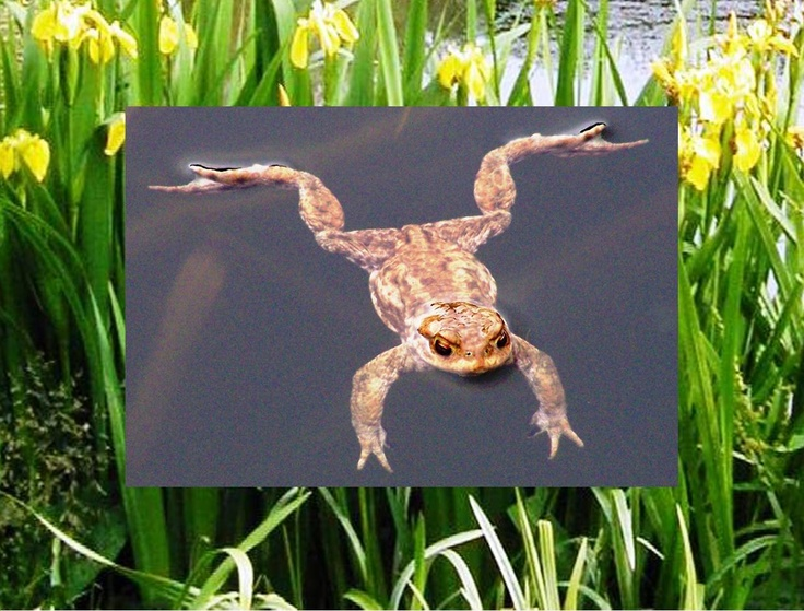 Calendar pix - May 2013 For a few days every Spring the farm is over-run by amorous toads, making their way to the pond to spawn.  Afterwards they just float in the water to recover.  Amazing eyes.  Background is the yellow flags around the pond.