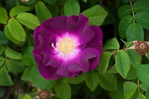 Pirjo Raution risteyttämä ranskanruusu x sammalruusu.  Merveille – Rosa gallica - Hongiston TaimistoHongiston Taimisto