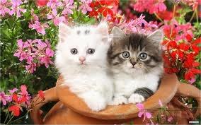 www.petclic.es la mayor tienda online de productos para #mascotas. La mayor biblioteca de contenido y consejos sobre mascotas. 1.000 consejos. 50.000 imágenes. Foto del #gato van turco