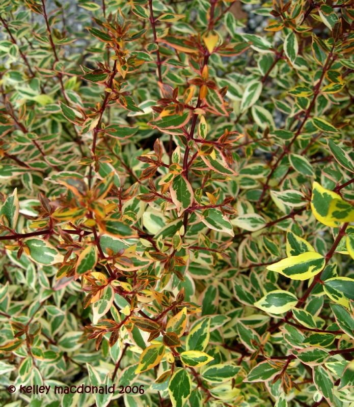 1000 images about plants evergreens on pinterest for Tall evergreen shrubs
