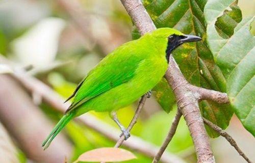 BudidayaBurung.XYZ – Download suara burung cucak hijau / ijo mp3 ngentrok ngerol durasi panjang untuk masteran. Varian jenis burung yang satu ini terbilang memiliki tingkat kecerdasaan lumayan tinggi, terbukti dari pintarnya cucak hijau meniru suara burung jenis lainnya, mulai dari kicau kacer, cendet, terucukan dan murai batu yang menjadikannya termasuk burung populer di Indonesia. Untuk anda seorang pemula yang mungkin ingin melatih cucak ijo