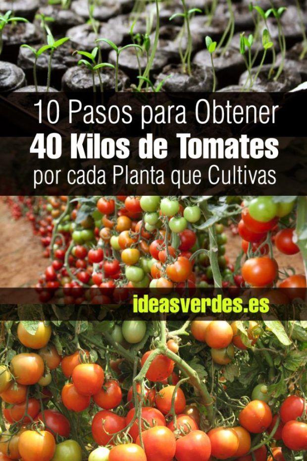 10 Trucos Para Obtener 40k De Tomates En Una Sola Planta Una De Las Primeras Planta Plantas De Tomate Jardinería De Hortalizas En Macetas Cultivo De Hortalizas