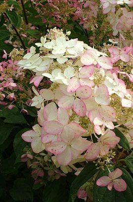 Hydrangea paniculata Pink Diamond 'Interhydia': Mirabellabeauti Rose, Rose Smoke