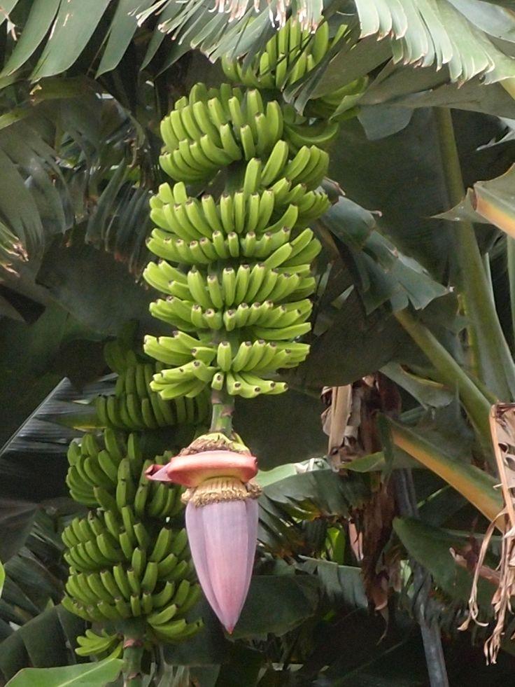 #Bananenstaude auf #La Palma