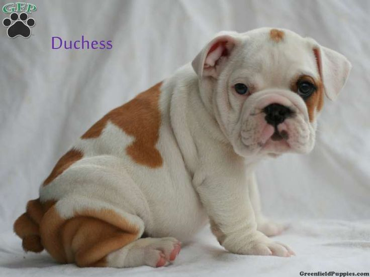 Duchess English Bulldog Puppy For Sale From Stevens Pa Bulldog Puppies For Sale Greenfield Puppies Cute Puppies