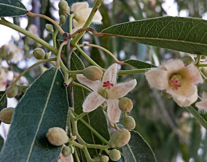Брахихитон наскальный (Brachychiton rupestris ) или бутылочное дерево .   Очень большой букет. 29.03.16
