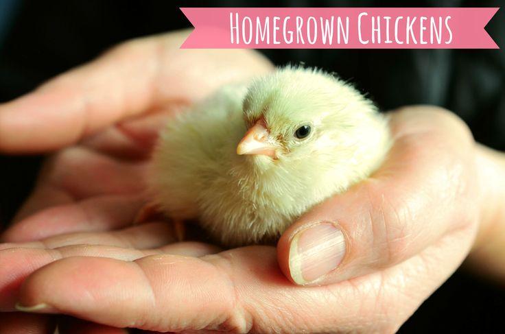 Don't Be Such a Chicken #BackyardChickens, #BeginningHomesteading, #Chickens #AnimalsandLivestock